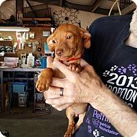 Adopt A Pet :: DAWSON - Lubbock, TX
