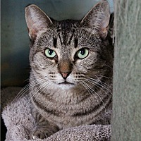 Domestic Shorthair Cat for adoption in Los Angeles, California - Chloe