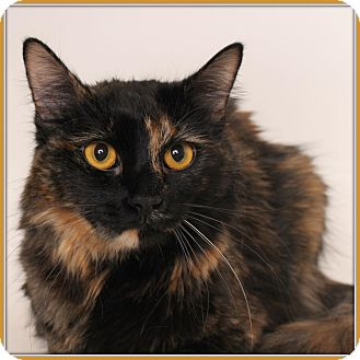Domestic Mediumhair Cat for adoption in Glendale, Arizona - Bailey April