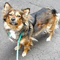 Sheltie, Shetland Sheepdog Mix Dog for adoption in Manhattan, New York - Cinnamon
