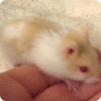 Adopt A Pet :: Peep - St. Paul, MN