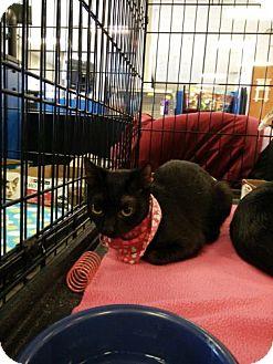Domestic Shorthair Kitten for adoption in Avon, Ohio - Gidget
