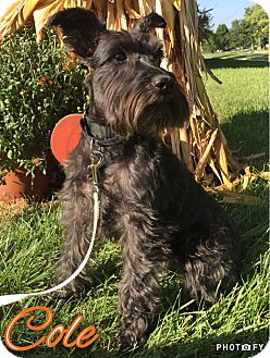 Miniature Schnauzer Dog for adoption in Sharonville, Ohio - Cole~~ADOPTION PENDING