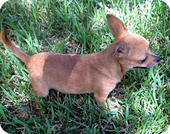 Chihuahua Dog for adoption in Alvin, Texas - Gracie