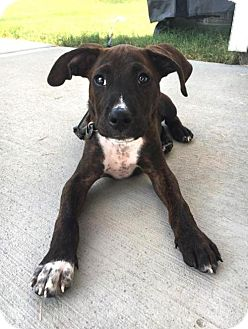Pit Bull Terrier Mix Puppy for adoption in Charlotte, North Carolina - Daschel