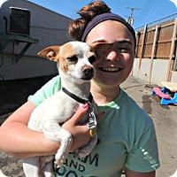 Chihuahua Dog for adoption in Mission, Kansas - Killian Gardiner