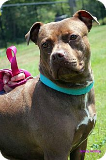 American Staffordshire Terrier Dog for adoption in Paris, Maine - CINNAMON