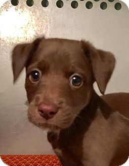 Labrador Retriever/Australian Shepherd Mix Puppy for adoption in Franklin, Tennessee - Rayna