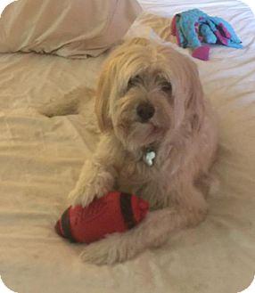 Terrier (Unknown Type, Medium)/Poodle (Miniature) Mix Dog for adoption in Atlanta, Georgia - Tyler