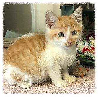 Domestic Shorthair Kitten for adoption in Los Alamitos, California - Leddie