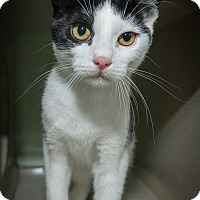 Domestic Shorthair Kitten for adoption in New York, New York - Lexi