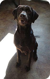 Labrador Retriever Mix Dog for adoption in House Springs, Missouri - Gina