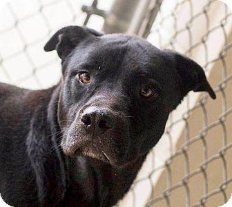 Labrador Retriever/Shiba Inu Mix Dog for adoption in Nashville, North Carolina - Tyson ~ CRITICAL Available NOW