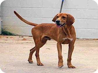 Bloodhound Dog for adoption in Fort Walton Beach, Florida - RUSTY