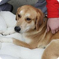 Labrador Retriever Mix Dog for adoption in Rockville, Maryland - Abby