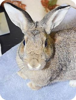 American Mix for adoption in Oceanside, California - Asterisk