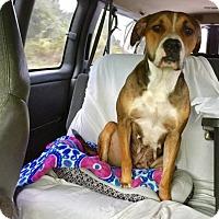 Adopt A Pet :: Claire - Saint Augustine, FL