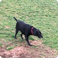 Adopt A Pet :: Shadow - Harrisville, WV