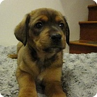 Adopt A Pet :: Baby Zoe - Rockville, MD