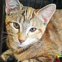 Adopt A Pet :: Faustina ( Tiger) - Lyons, IL