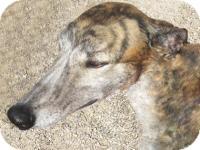 Greyhound Dog for adoption in Tucson, Arizona - Danielle