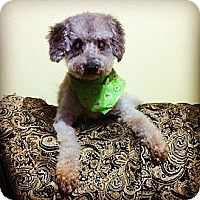 Adopt A Pet :: Mr. Poodle - Davie, FL