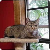 Domestic Shorthair Cat for adoption in Round Rock, Texas - Allie