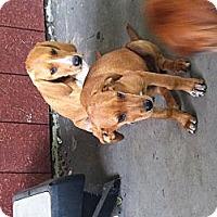 Adopt A Pet :: Duke - East McKeesport, PA