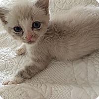 Adopt A Pet :: Snowball - Reston, VA
