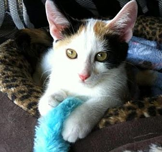 Calico Cat for adoption in Spring Branch, Texas - Hope