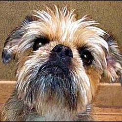 Photo 4 - Brussels Griffon Mix Dog for adoption in Mesa, Arizona - VOLUNTEERS NEEDED IN AZ & NV