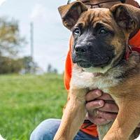 Adopt A Pet :: Daphne $250 - Seneca, SC