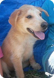 Golden Retriever/Labrador Retriever Mix Puppy for adoption in Leming, Texas - Misty