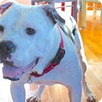 American Bulldog Mix Dog for adoption in Alpharetta, Georgia - GillytheKid