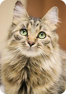 Domestic Longhair Cat for adoption in Chicago, Illinois - Mariah