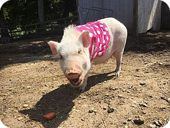 Pig (Potbellied) for adoption in Spring Lake, New Jersey - Georgia