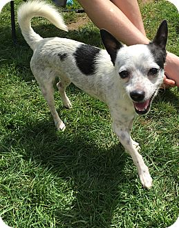 Rat Terrier/Chihuahua Mix Dog for adoption in Tumwater, Washington - Billy