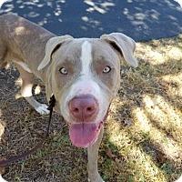 Adopt A Pet :: Jax - Hawthorne, CA