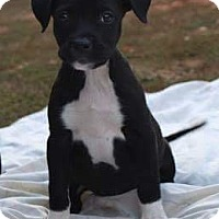 Adopt A Pet :: Pitty Pumpkin 3 - Pompton Lakes, NJ