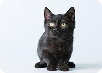 Domestic Shorthair Kitten for adoption in Hendersonville, North Carolina - Warren