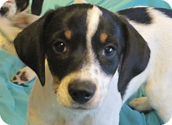 Beagle/Terrier (Unknown Type, Small) Mix Puppy for adoption in Spring Valley, New York - Cannoli