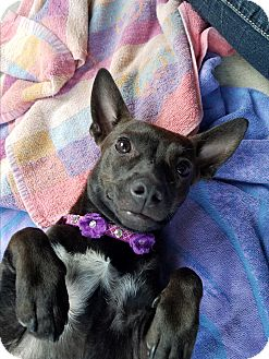 Chihuahua/French Bulldog Mix Puppy for adoption in Riverside, California - Chloe