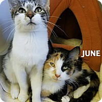 Calico Cat for adoption in Lapeer, Michigan - June & Kiwi