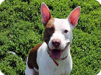 Pit Bull Terrier Dog for adoption in Decatur, Illinois - HARRIS