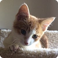 Domestic Shorthair Kitten for adoption in New Albany, Ohio - Fred