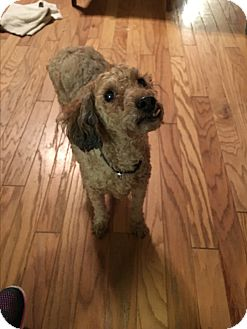 Poodle (Miniature) Dog for adoption in Va Beach, Virginia - Benjamin