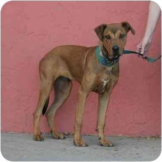Jethro   Adopted Dog   Denver, CO   Rhodesian Ridgeback ...