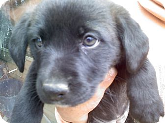 Retriever (Unknown Type) Mix Puppy for adoption in Albany, New York - Parker