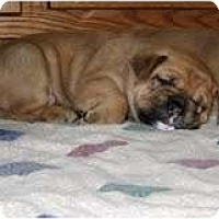 Adopt A Pet :: Golden Bulldog Puppies - conyers, GA