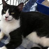 American Shorthair Cat for adoption in La Canada Flintridge, California - Spike